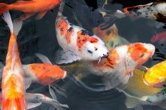Van de de vissenkarper van Japan de luim/koi in vijver, Japans Nationaal dier stock afbeeldingen