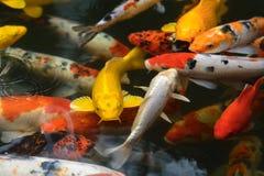 Van de de vissenkarper van Japan de luim/koi in vijver, Japans Nationaal dier stock afbeelding