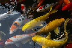 Van de de vissenkarper van Japan de luim/koi in vijver, Japans Nationaal dier royalty-vrije stock foto