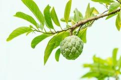 Van de vlaappelen of Suiker appelen of Annona-squamosa Linn. Stock Foto