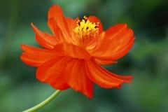 Van de vlinderinstallatie en snijbloem de Zonsopgang van Cosmea royalty-vrije stock foto