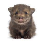 Van de voswelp (4 weken oud) de zitting het liggen Royalty-vrije Stock Afbeeldingen