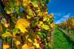 Van de Wijn de in openlucht Dag Veranderende Seizoenen van wijngaardrijen de Dalingsherfst stock foto