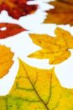 Van de wijnstokblad en esdoorn bladeren in de herfstkleuring in verticale forma Royalty-vrije Stock Foto