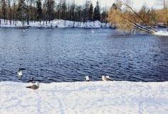 van de de wintersneeuw van het meerwater de dag van het de vogelszonlicht Stock Afbeelding