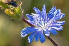 Van de witlof (Cichorium-intybus) bloem het close-up stock foto