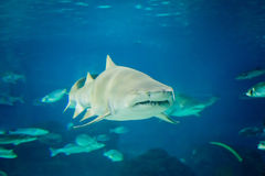 Van de zandtijger de haai (Carcharias taurus) onderwater dichte omhooggaande portra stock foto's