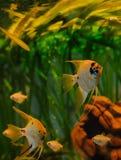 Van de de zeeëngelstoom van aquariumvissen het ontwerp van het aquariumalgen royalty-vrije stock afbeelding