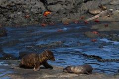 Van de Zeeleeuwenzalophus van de Galapagos wollebaekijongen op lavarotsen, Santiago Island, de Eilanden van de Galapagos stock foto's