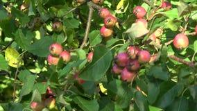 Van de de zomerwind en krab appelentak met vruchten stock video
