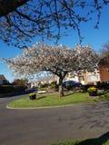 Van de de zondag van april van de kersenbloesem de blauwe hemel stock fotografie