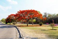 Van Delonixregia (Flamboyant) boom met blauwe hemel Stock Foto