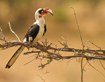 Van der Decken´s Hornbill Fotos de Stock Royalty Free