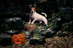 Van duivelshond en Halloween pompoenen bij ruïnes van kasteel als spookhuis Stock Foto's