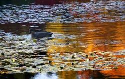Van Dusen Duck in Water Reflections Stock Image
