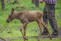 Van een Amerikaanse elandenlandbouwbedrijf op E-D in Zweden, Amerikaanse elandenkalf, wijfje Royalty-vrije Stock Afbeeldingen