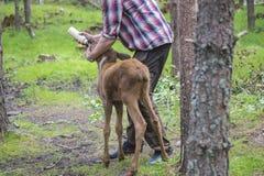 Van een Amerikaanse elandenlandbouwbedrijf op E-D in Zweden, Amerikaanse elandenkalf, wijfje die, worden gevoed Royalty-vrije Stock Afbeeldingen