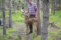 Van een Amerikaanse elandenlandbouwbedrijf op E-D in Zweden, Amerikaanse elandenkalf, wijfje die, worden gevoed Stock Fotografie