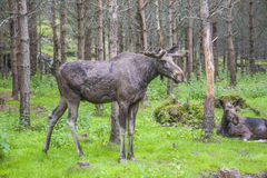 Van een Amerikaanse elandenlandbouwbedrijf op E-D in Zweden, mannetje en wijfje Stock Afbeeldingen