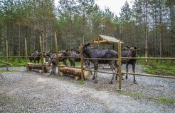 Van een Amerikaanse elandenlandbouwbedrijf op E-D in Zweden, mannetje en wijfje Royalty-vrije Stock Fotografie