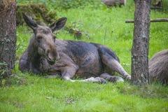 Van een Amerikaanse elandenlandbouwbedrijf op E-D in Zweden, wijfje Stock Afbeeldingen