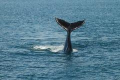 Van een de jonge Gebocheldewalvis (Megaptera-novaeangliae) golven zijn staart stock afbeelding