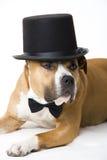 Van een hond bruidegom Royalty-vrije Stock Afbeeldingen