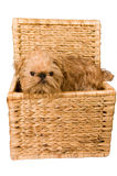 Van een hond is in een boomstam. Royalty-vrije Stock Foto