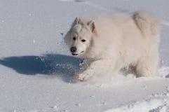 Van een hond looppas, looppas! Stock Foto's