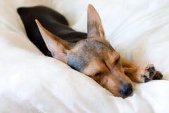 Van een hond slapen Royalty-vrije Stock Afbeeldingen