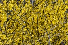 Van forsythia mooie bloeiende gele bloemen close-up als achtergrond Royalty-vrije Stock Fotografie
