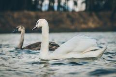 Van foto van een zwaan Stock Afbeeldingen