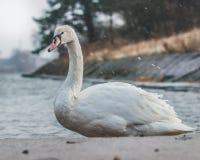 Van foto van een zwaan Royalty-vrije Stock Afbeeldingen