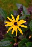 Van fulgidagoldsturm van de lenterudbeckia het onduidelijke beeld van de de aardochtend Stock Afbeelding