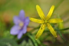 Van Gagealutea en Hepatica nobilis Royalty-vrije Stock Foto's