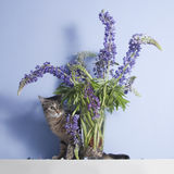 Van gestreepte kat nieuwsgierige kat en lupine bloemen Royalty-vrije Stock Afbeeldingen