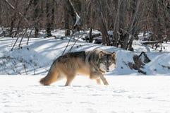 Van Grey Wolf (Canis-wolfszweer) de Bewegingen net langs Sneeuwrivierbed Stock Foto's