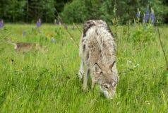 Van Grey Wolf (Canis-wolfszweer) de Jaarling kijkt omhoog van Gras Stock Afbeelding