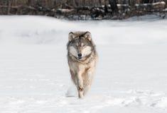Van Grey Wolf (Canis-wolfszweer) de Looppas direct bij Kijker Royalty-vrije Stock Foto's