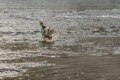 Van Grey Wolf (Canis-wolfszweer) de Plonsen in Rivier Stock Afbeeldingen