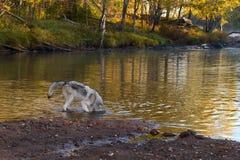 Van Grey Wolf (Canis-wolfszweer) de Stokkenhoofd in Water Stock Foto