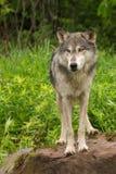 Van Grey Wolf (Canis-wolfszweer) de Tribunes op Rots Royalty-vrije Stock Fotografie