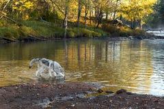 Van Grey Wolf (Canis-wolfszweer) de Tribunes in Water Stock Afbeeldingen