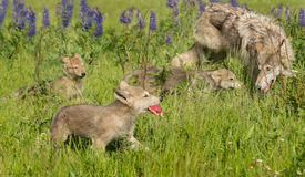 Van Grey Wolf (Canis-wolfszweer) het Jong met Vlees Royalty-vrije Stock Afbeeldingen