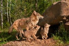 Van Grey Wolves (Canis-wolfszweer) de Sprong over Buitenhol Stock Foto's