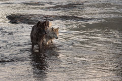 Van Grey Wolves (Canis-wolfszweer) de Tribune die net eruit zien Royalty-vrije Stock Foto's
