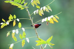 Van Hasselt`s Sunbird Stock Photo