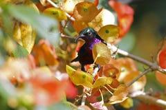 Van Hasselt y x27; pájaros lindos masculinos del brasiliana de Leptocoma del sunbird de s de Tailandia Imagenes de archivo