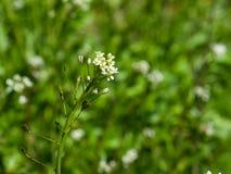 Van herders` s-beurs of Capsella slijmbeurs-pastoris bloeit close-up, selectieve nadruk, ondiepe DOF Stock Fotografie