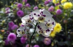 Van het achtergrond onduidelijke beeld diverse flawers van de Phalaenopsisorchidee geelgroene stam de witte van bladbloesems stock foto